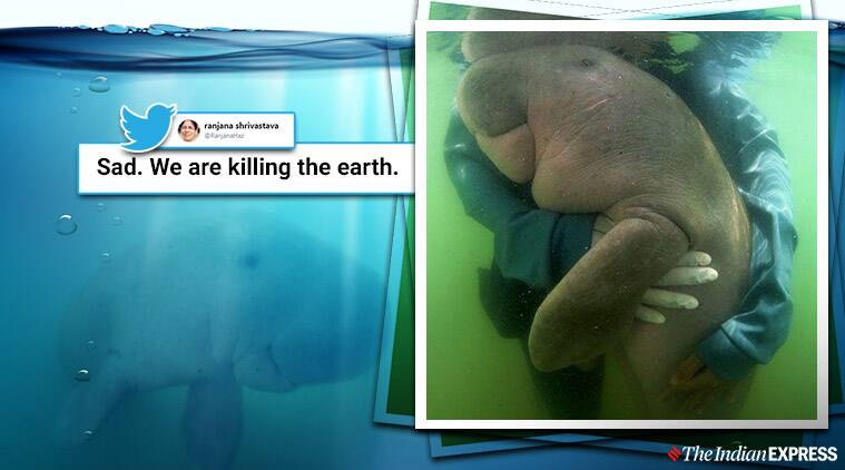 Baby dugong Baby dugong dies in Thailand Baby dugong Mariam dies in Thailand Baby dugong dies with Plastic in stomach Trending Indian Express news