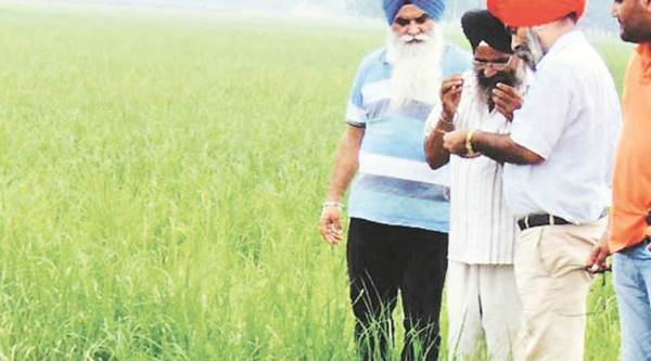 Punjab Agriculture Department, pesticides in basmati, basmati pesticides restricted, punjab farmers, punjab rice fields, express explained