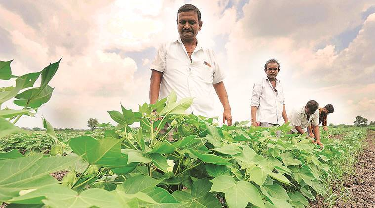 Pink bollworm: Farmers opt out of early sowing of cotton