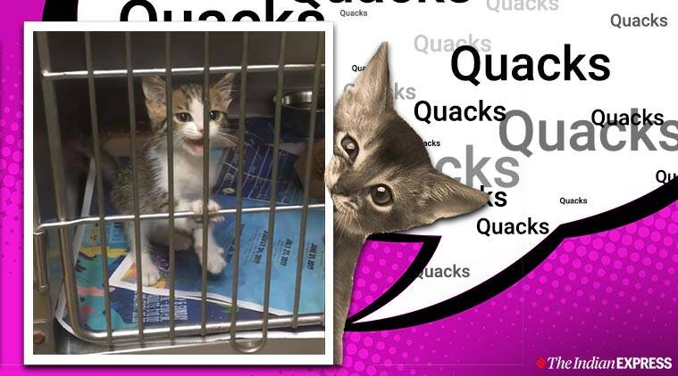 cat quacks, cat quacks viral video, kitten quacks viral video, kitten makes quacking sound, twitter reactions, viral cat videos, trending, indian express, indian express news