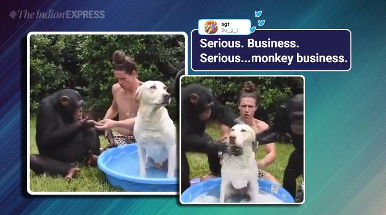 No monkey business: Adorable video of man bathing dog with two chimps goes viral