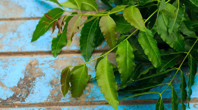 neem, neem leaves, benefit of neem leaves, indian express, indian express news