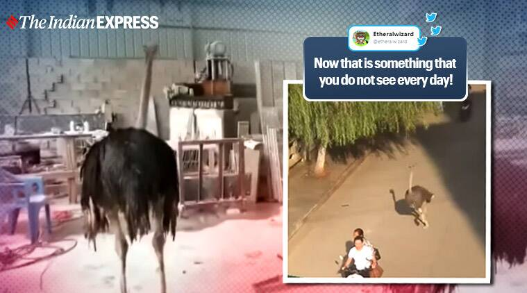 ostrich on a loose china viral video, ostrich escapes runs streets china viral video, twitter reactions