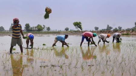 Goa floods, Goa rains, Goa monsoon, Goa paddy farming, Goa paddy crop loss rains