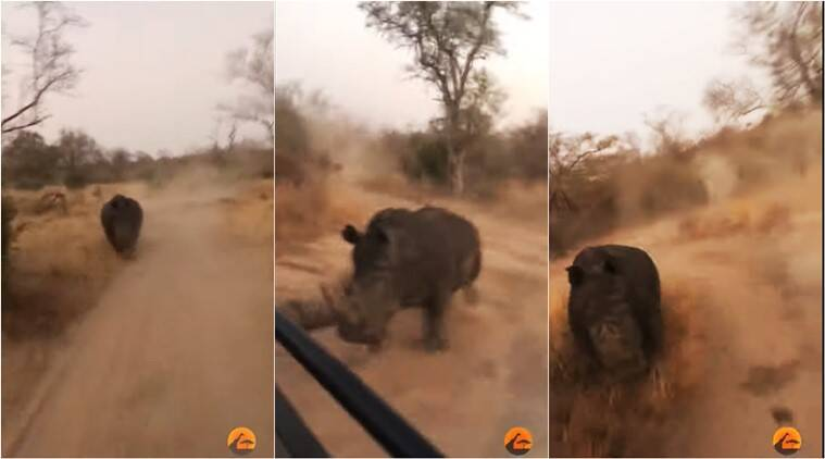 rhino chase tourists, charging rhino african safari, terrifying safari experience, south africa rhino chase tourists, indian express, viral video,