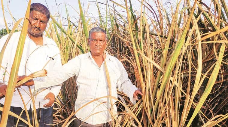 maharashtra floods, floods in maharashtra, maharashtra monsoon, maharashtra rains, maharashtra drought, maharashtra farmers, crops in maharashtra, maharashtra crops, india news, Indian Express