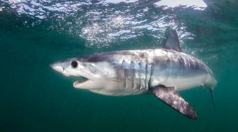 From sharks to saiga, nations agree to increase protection for endangered wildlife