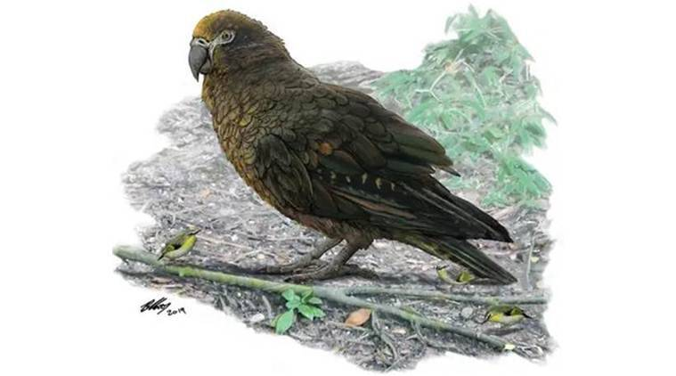 squawkzilla, squawkzilla in new zealand, big parrot in new zealand, new zealand paleontologists big parrots, Heracles inexpectatus,