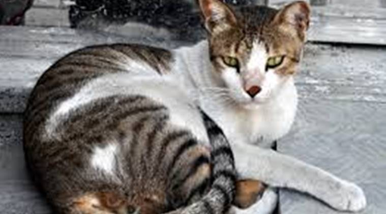 PMC to begin programme for sterilisation and vaccination of stray cats