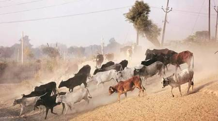 Stray cattle menace: Mansa bandh stretches into indefinite dharna