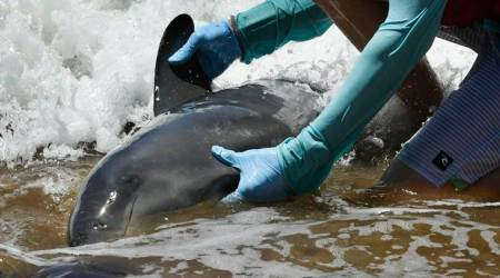 Whales Hawaii, Whales Euthanasia, whales euthanized US, World news Indian Express