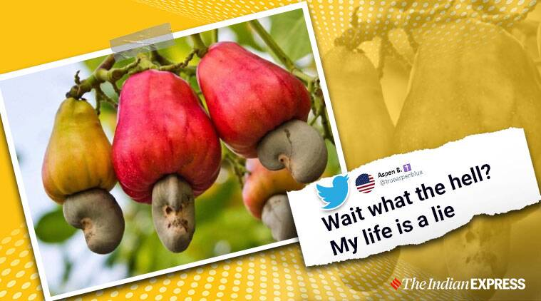 Cashew nuts trend on Twitter after people discover what it looks like on a tree