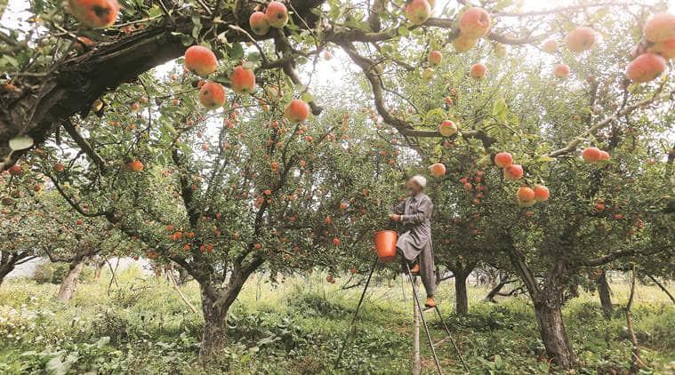 apple market in kashmir, sopore fruit mandi, kashmir, kashmir apples orchards, kashmir clampdown, nafed, kashmir news