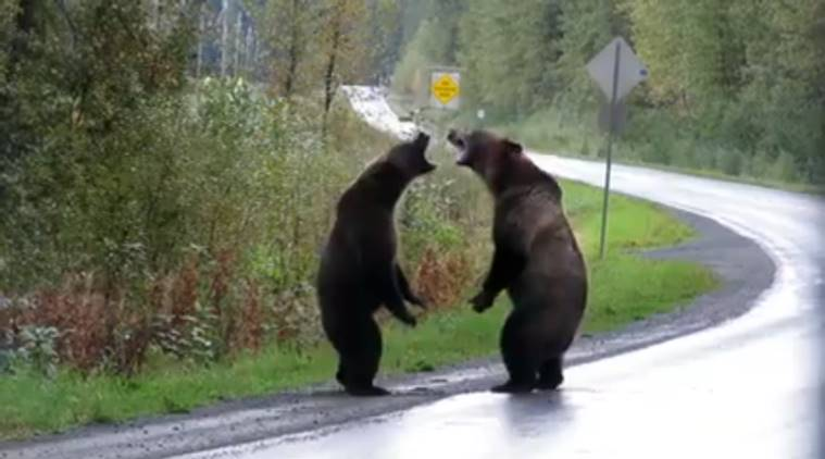 bear, bear fight, bear fight on road, bear fight viral video, bear fight canada