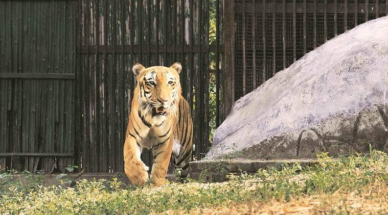 delhi zoo tiger dies, royal bengal tiger dies in delhi zoo, delhi city news, indian express news