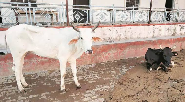 Gujarat High Court suspends conviction of man in cow slaughter case