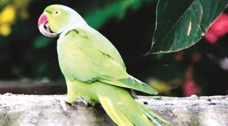Chandigarh news, chandigarh birds deformed beaks, beak deformities in Chandigarh birds, indian express
