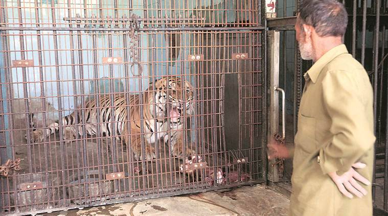 Delhi: Zookeeper attacked while trying to give water to Royal Bengal tiger