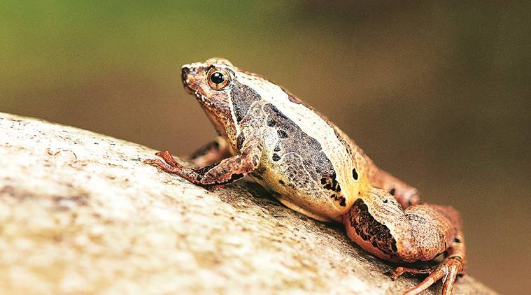 New frog from Arunachal named after Greek goddess