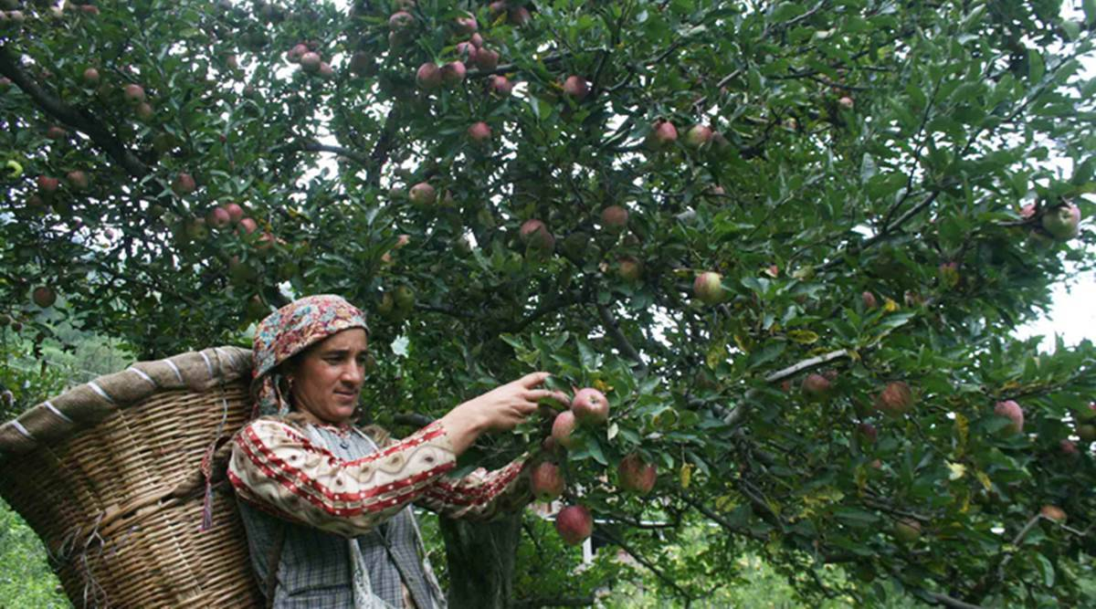 Jammu farmers to directly sell organic apples in Pune this weekend