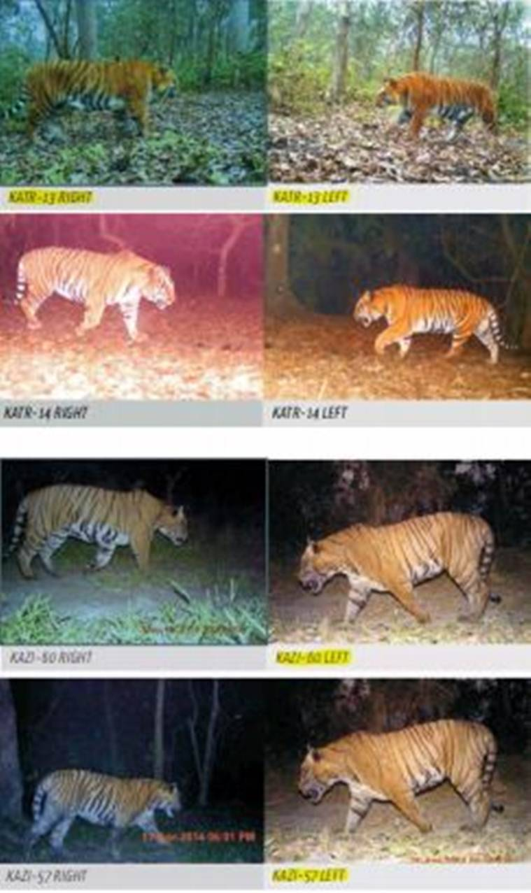 Tiger count up but official photos show one in seven could just be a paper tiger
