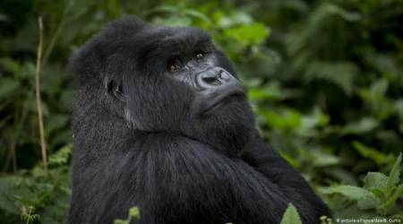 How coffee is helping protect Uganda's endangered mountain gorillas