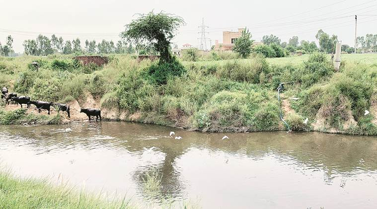 In villages along Chitti Bein, Kala Sanghia drain, farmers use highly polluted water to irrigate fields, PPCB fails to crack down