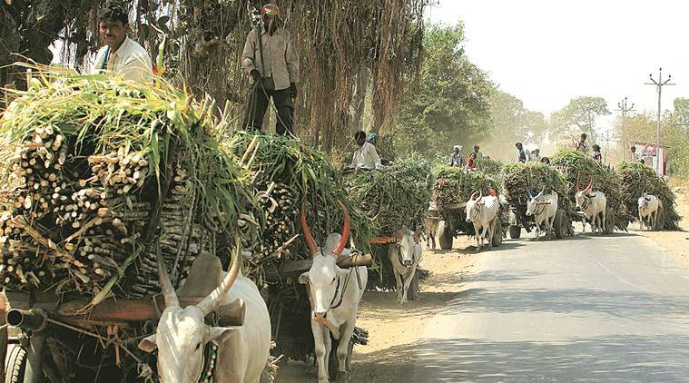 Maharashtra's sugarcane crushing season to be delayed, push for December 1 to be starting date