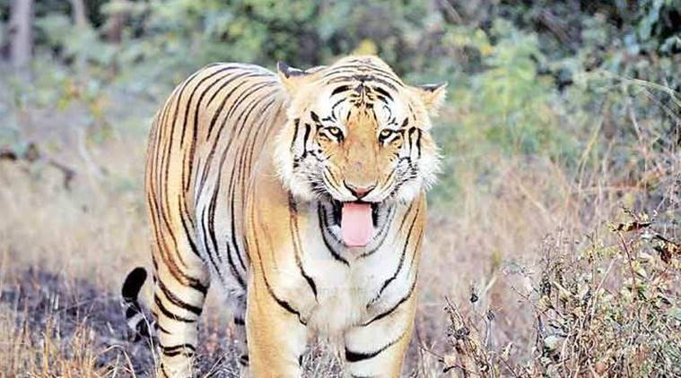 Nagpur: Translocated Brahmapuri tigress captured