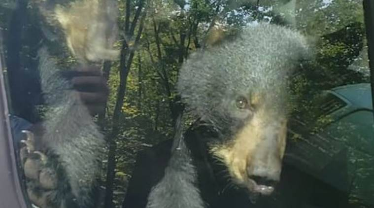 Two bear cubs get stuck inside van honks for help, bear cubs stuck inside van, Trending, Indian express news