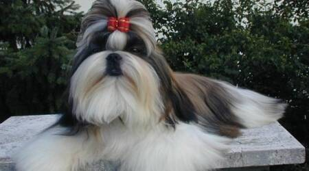 Blood4Pet, Pet Dog, Shih Tzu