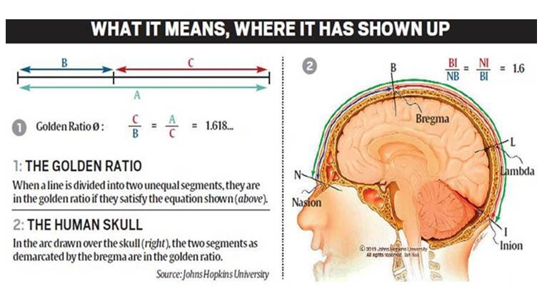 The mysterious golden ratio: why is it everywhere, now in human skull?