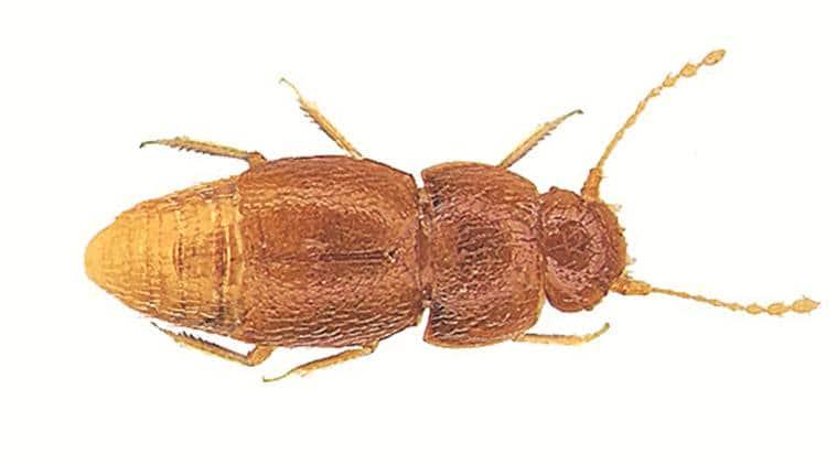 Nelloptodes gretae, Nelloptodes gretae meaning, William Brock, south africa species, indian express