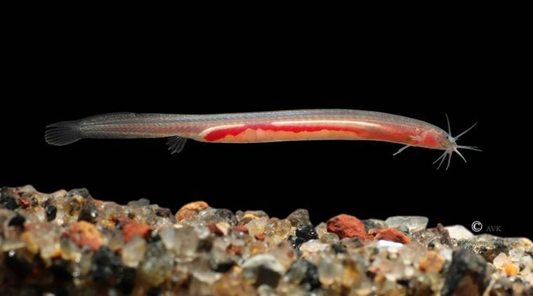An eel like the bhujia: Scientists in Kerala discover new subterranean fish species