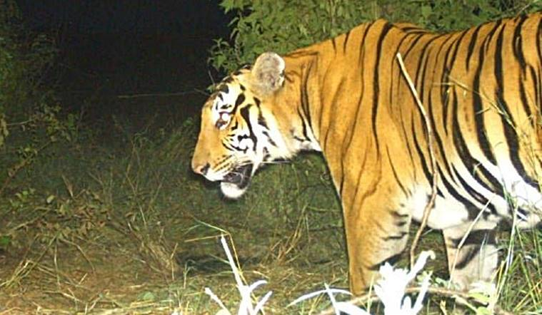Hunt for Bandipur tiger suspected of killing two ends in high drama