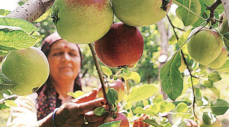 himachal pradesh apple, himachal pradesh apple farming, shimla apple production, apple tariffs, india news
