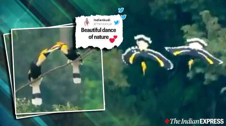 'Love is in the air literally': Netizens react to viral video of two hornbills' mating dance