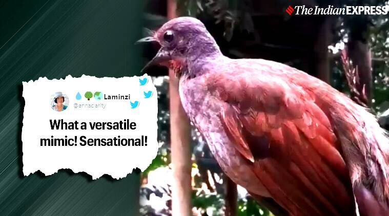 Lyrebird bird,Lyrebird bird mimicry, Lyrebird bird mimics human-made noises, Australia, Adelaide Zoo, Trending, Viral video, Indian Express news