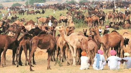 Camel numbers lowest in Rajasthan in 7 decades