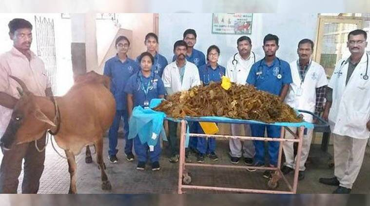 Chennai: Doctors remove 52 kg plastic from cow's stomach