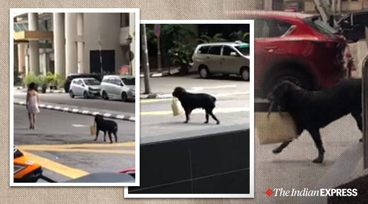'Best bodyguard ever': Video of Rottweiler carrying woman's handbag goes viral