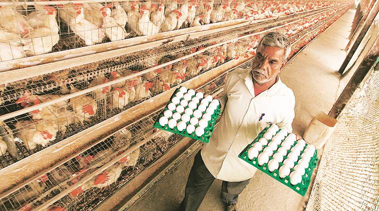 poultry industry in india, poultry industry growth, egg conumption, egg benefits, india news
