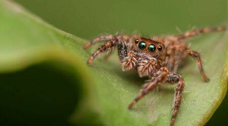 spiders can fly, do spiders fly, can spiders fly, flying spiders, spiders fly with help of electric fields, spiders ballooning, spiders silk strands, University of Bristol Erica Morley and Daniel Robert, Charles Darwin on spiders, arachnids spiders