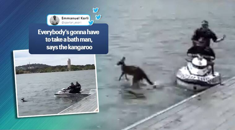 kangaroo. kangaroo jumps back in water, kangaroo jumps in water viral video, kangaroo rescued viral video, trending, indian express news