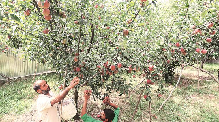 kashmir apples, kashmir apple farmers, kashmir apples growers, kashmir latest news, jammu and kashmir, artcile 370, article 35a, indian express news