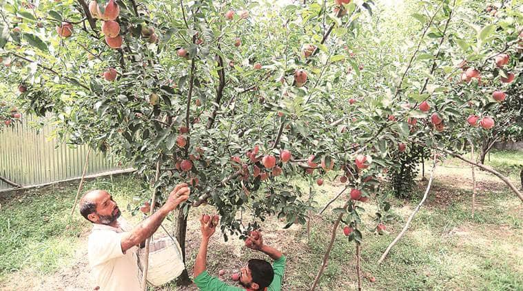 kashmir apples, kashmir apple farmers, kashmir apples growers, kashmir latest news, jammu and kashmir, artcile 370, article 35a, indian express news
