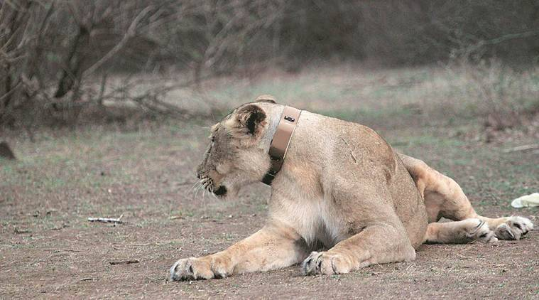 Gujarat: Endangered Gir lion dies after falling in a trap in Amreli, two detained