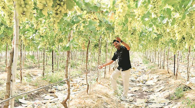 Maharashtra: Reform Better irrigation, sweeter grapes make this farmer stand out