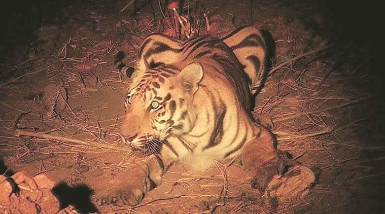 artificial limb for tiger, nagpurveterianry doctors,tiger paw surgery,tiger rib surgery, Surgery for artificial limb for tiger, india news, indian express
