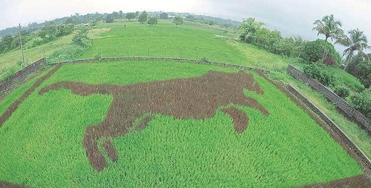 Shrikant Ingalhalikar, Tambo Ato, art in paddy fields, crop art, Pune farmers
